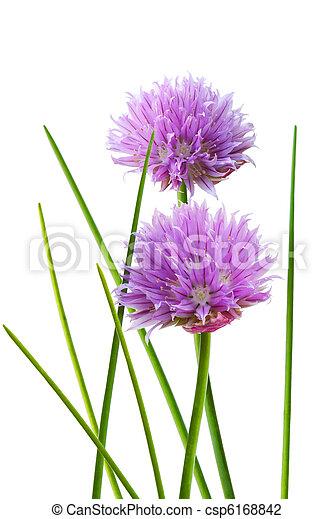 chive bloem - csp6168842