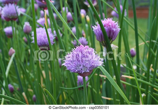 Chives - csp0350101