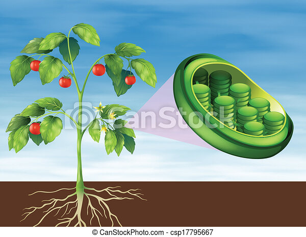 Chloroplast in plant - csp17795667