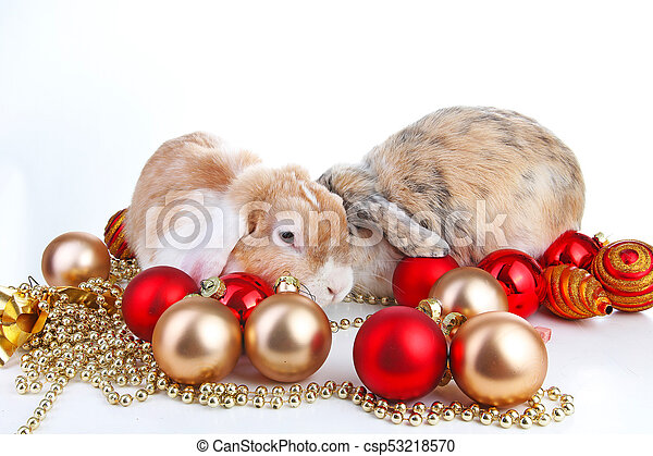 christmas animals rabbit pet lop dwarf dutch wo colored orange bunny rabbits celebrate christmas stock photo