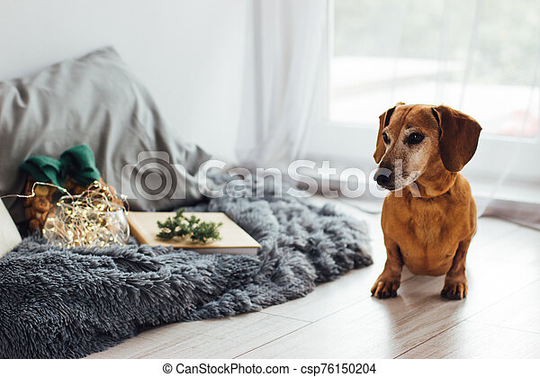 Christmas Dog Dachshund Gray Haired Red Dog Dachshund In The Christmas Decor A Gray Fluffy Blanket Pillows A Vase With