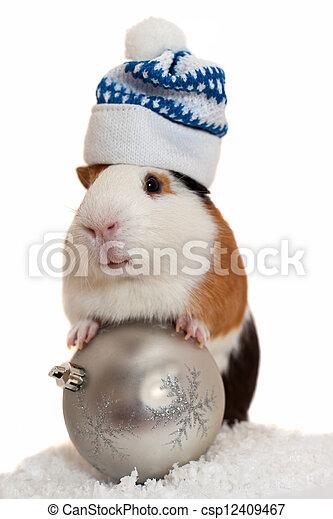 christmas guinea pig - csp12409467