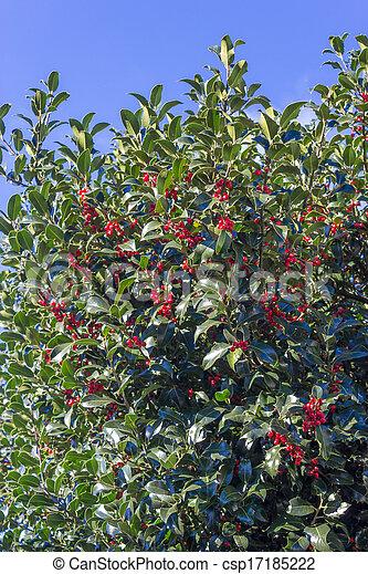Christmas Holly - csp17185222