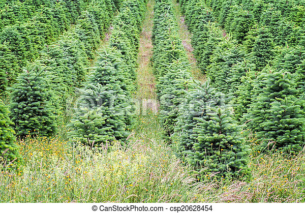 Oregon Christmas Trees.Christmas Trees Growing In Oregon S Willamette Valley