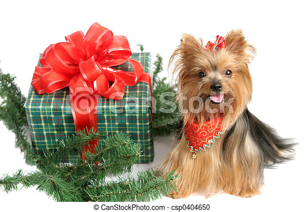 Christmas Yorkshire Terrier - csp0404650