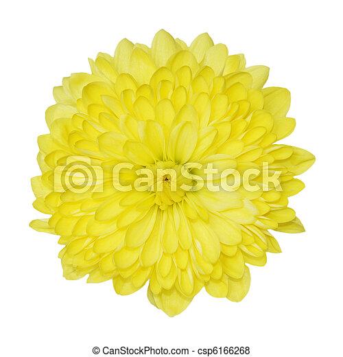 chrysant, gele - csp6166268