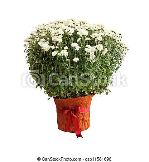 chrysanthème, buisson - csp11581696
