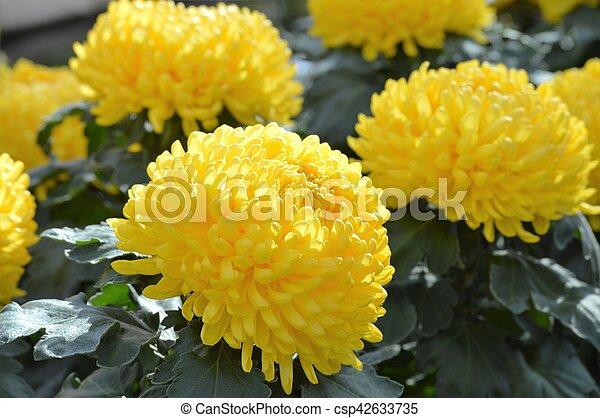 Chrysanthemum Flowers - csp42633735