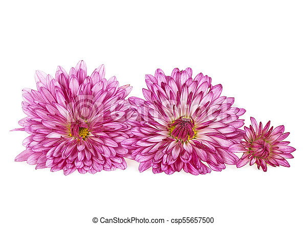 Chrysanthemum flowers white background stock photography search chrysanthemum flowers white background csp55657500 mightylinksfo Image collections
