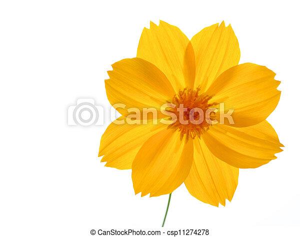 Chrysanthemum - csp11274278