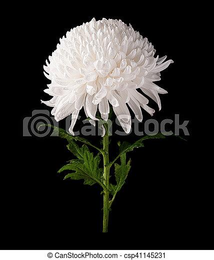 Chrysanthemum white flower isolated on black chrysanthemum white chrysanthemum white flower isolated on black csp41145231 mightylinksfo