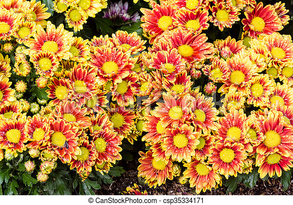 Chrysanthemums flowers background - csp35334171