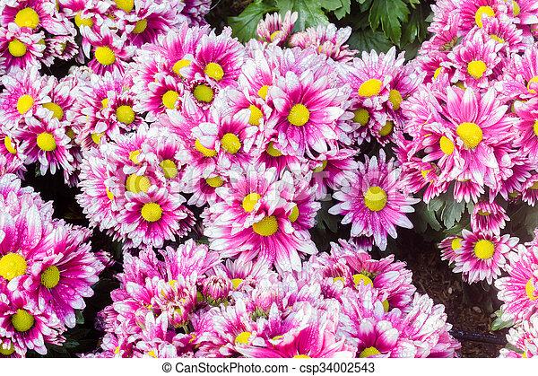 Chrysanthemums flowers background - csp34002543