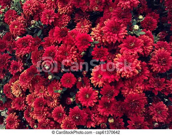 Chrysanthemums Flowers Small Decorative Red Chrysanthemums Or