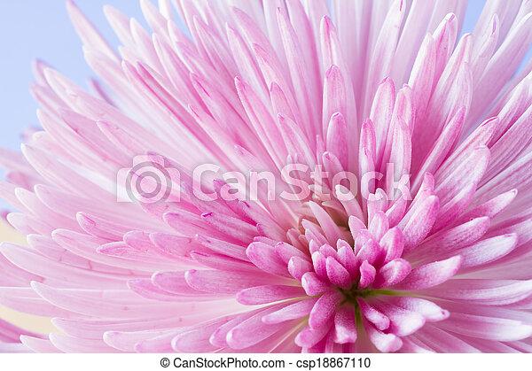 chryzantema, wizerunek, kwiat, do góry szczelnie - csp18867110