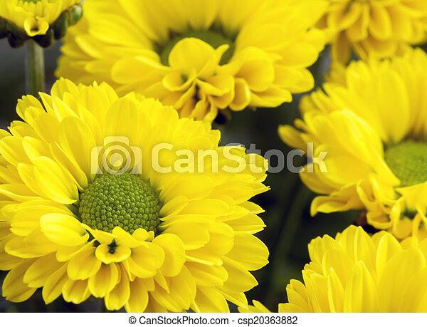 chryzantemy, wizerunek, do góry, żółty, zamknięcie, grono - csp20363882