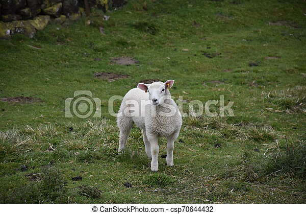 Chunky Young White Lamb Standing Still in a Field - csp70644432