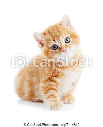 cica, shorthair, elszigetelt, brit, macska - csp7114840