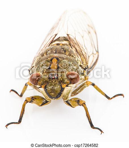 Cicada isolated on white background - csp17264582