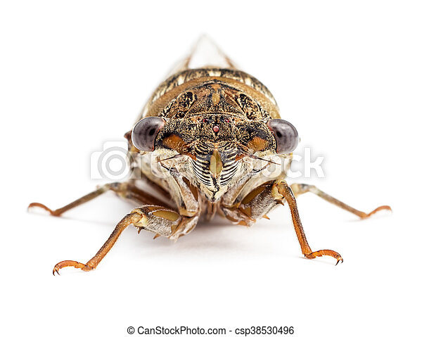 Cicada isolated on white front view - csp38530496