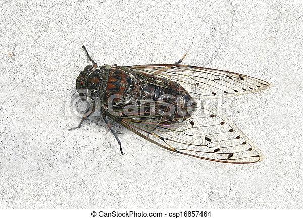 Cicada , Thailand  - csp16857464