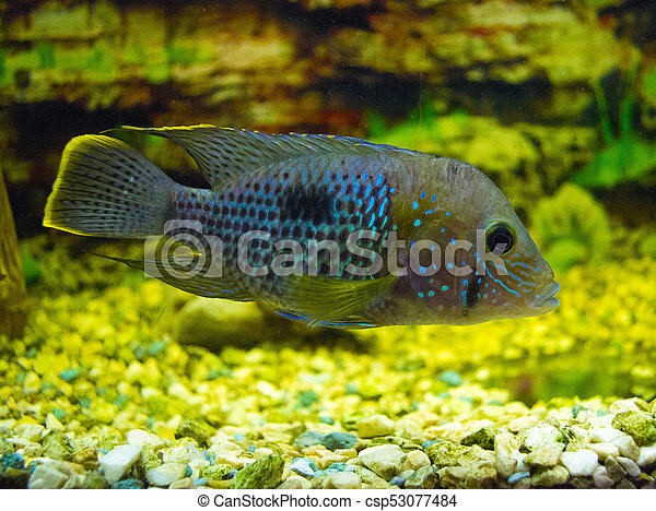 Cichlid Fish   Cichlid Fish Pictures Search Photographs And Photo Clip Art
