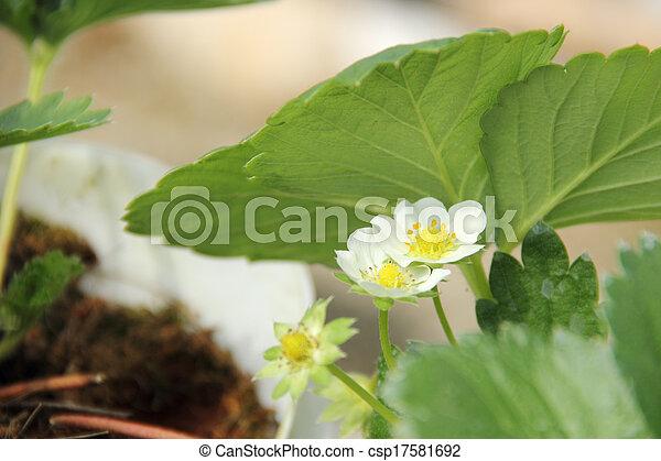 Cierra la flor de fresa - csp17581692