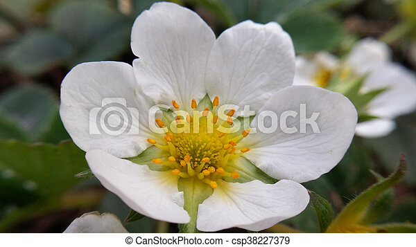 Cierra la flor de fresa - csp38227379