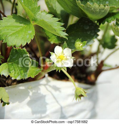 Cierra la flor de fresa - csp17581682