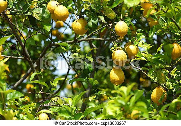 cierre, limón, arriba - csp13603267