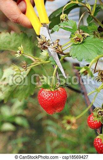Cierra las manos cortando fresas - csp18569427