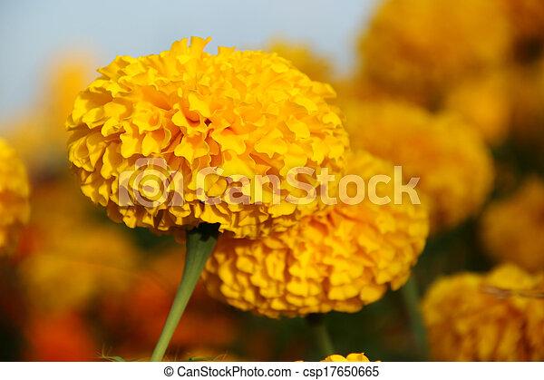 Cierra el caléndulo amarillo - csp17650665