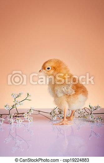 cierre, pollo, joven, primavera, arriba - csp19224883