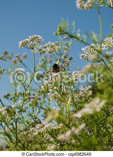Cilantro in Bloom - csp6982649