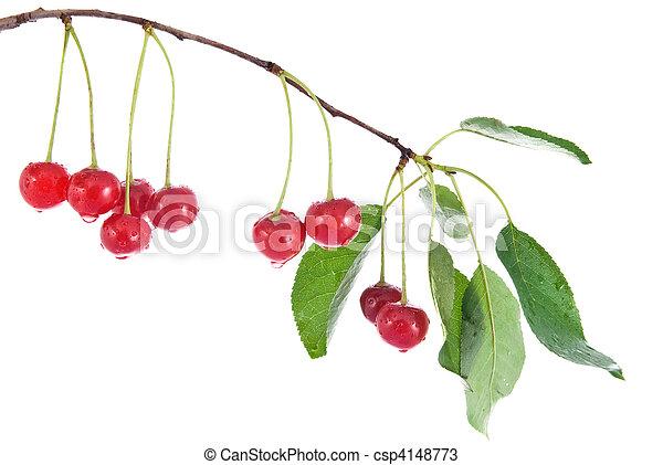 ciliegia, foglie, isolato, acqua, bianco, gocce, rosso - csp4148773
