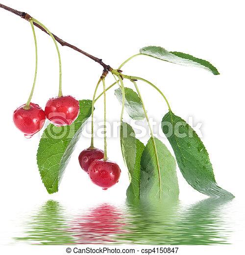 ciliegia, foglie, isolato, acqua, bianco, gocce, rosso - csp4150847
