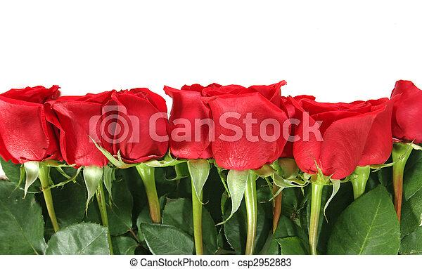 cima, isolado, rosas, fundo, branca, alinhado, fila - csp2952883