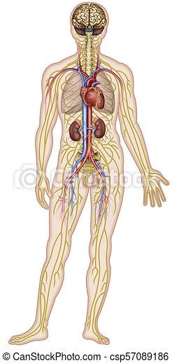 circolatorio, descrittivo, body., illustrazione, anatomico, nervoso, umano, sistemi - csp57089186