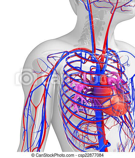 Circulatorio, corazón, macho, sistema. Circulatorio, corazón, humano ...