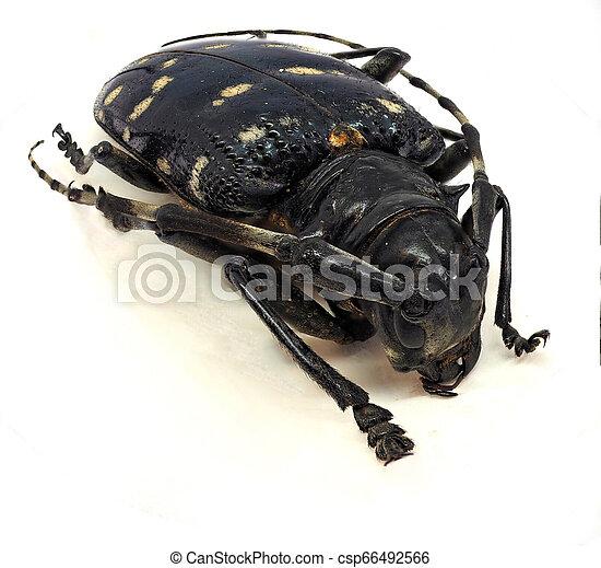 Citrus long-horned beetle - csp66492566