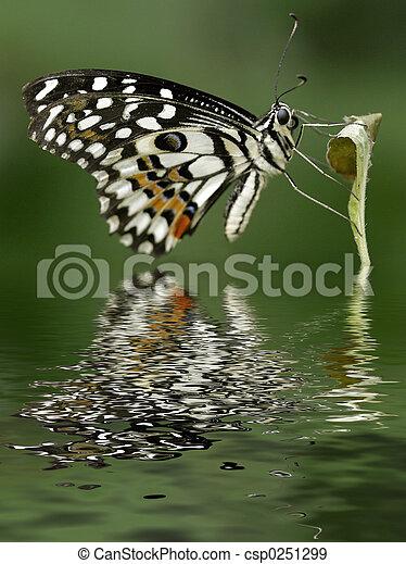 Citrus Swallowtail - csp0251299