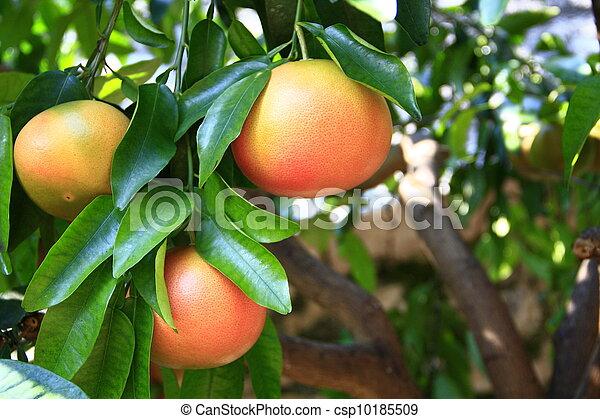 Grapefruit (Citrus paradisi) - csp10185509