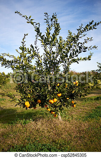 Citrus Tree Heavily Laden With Clementines