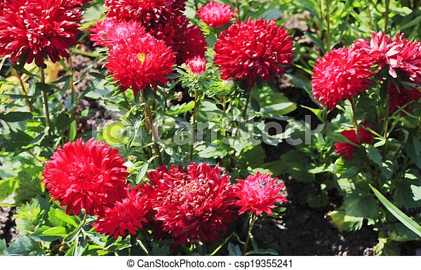 city flowers, asters - csp19355241