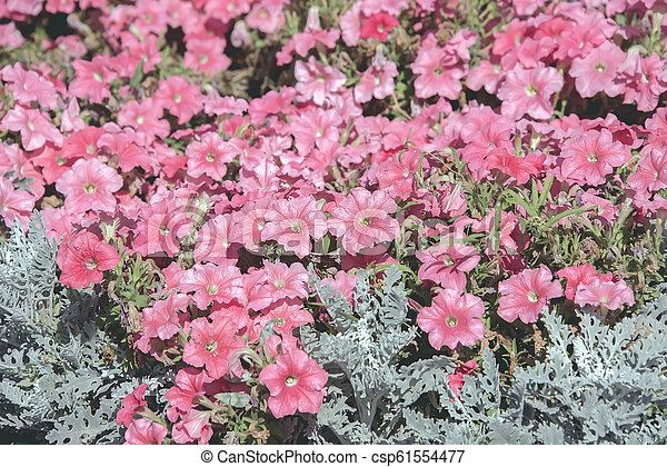 city flowers potunia, background of flowers - csp61554477