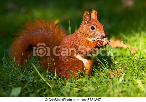 City park common red squirrel eating nut - csp5731247