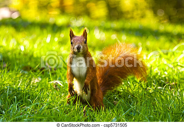 City park common red squirrel eating nut - csp5731505