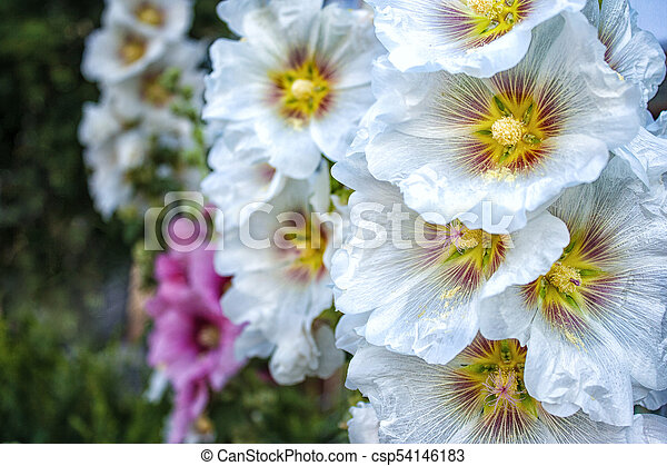 clair, fleurs, mauve