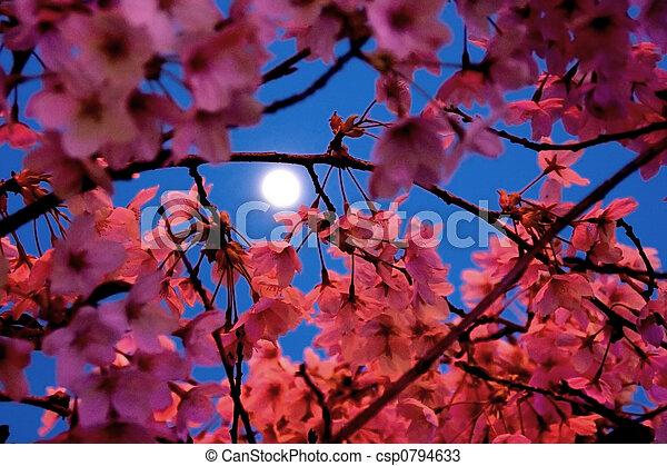 clair lune, fleurs cerise - csp0794633
