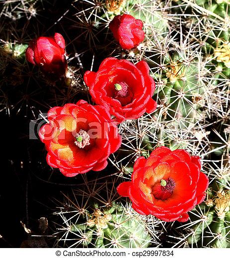 Claret Cub Cactus flowers 2 - csp29997834